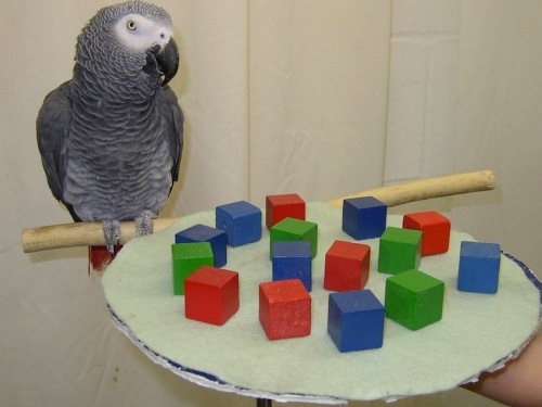Alex_the_african_grey_parrot